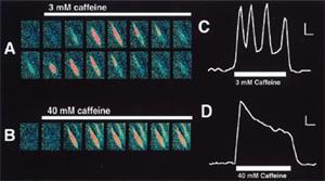 Regenerative Calcium Oscillations